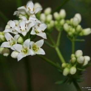 Galium glaucum L. (Aspérule glauque)