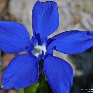 Gentiana brachyphylla Vill. [1779] (Gentiane à feuilles courtes)