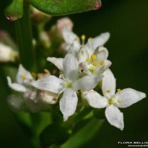 Galium boreale L. (Gaillet boréal)