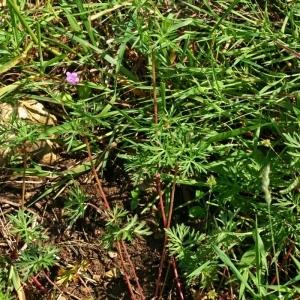Photographie n°171666 du taxon Geranium columbinum L.