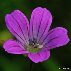 Photographie n°171671 du taxon Geranium columbinum L.