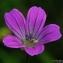 Thierry Pernot - Geranium columbinum L.