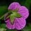 Thierry Pernot - Geranium palustre L.