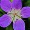 Thierry Pernot - Geranium sylvaticum L.