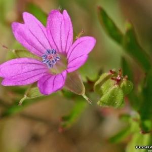 Photographie n°171795 du taxon Geranium columbinum L.