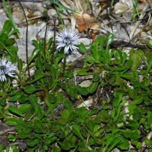 Photographie n°171829 du taxon Globularia cordifolia L.