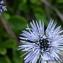 Thierry Pernot - Globularia cordifolia L.