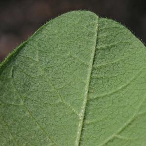 Photographie n°171842 du taxon Glycine max (L.) Merr.