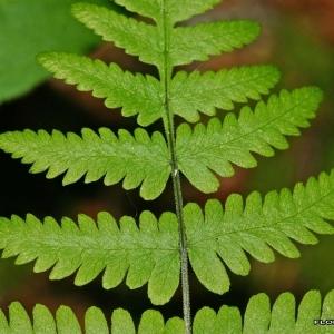 Gymnocarpium robertianum (Hoffm.) Newman (Polypode de Robert)