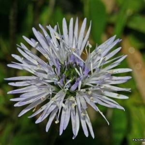 Globularia cordifolia L. [1753] (Globulaire à feuilles cordées)