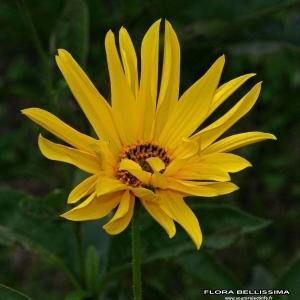 Helianthus pauciflorus Nutt. [1818] (Hélianthe raide)