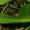 Thierry Pernot - Herminium monorchis (L.) R.Br.