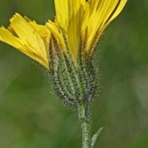 Catonia cordifolia Moench (Épervière à feuilles embrassantes)