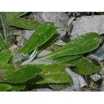 Hieracium peleterianum Mérat (Piloselle de Lepèletier)