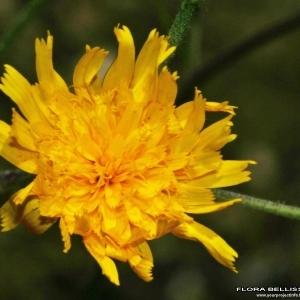 Photographie n°172122 du taxon Hieracium vulgatum Fr.