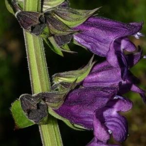 Horminum pyrenaicum L. (Hormin des Pyrénées)