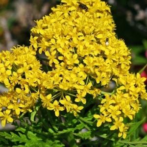 Descurainia tanacetifolia (L.) Prantl (Vélar à feuilles de tanaisie)
