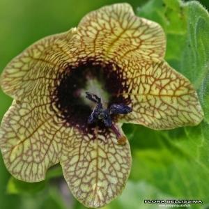 Hyoscyamus niger L. (Jusquiame noire)