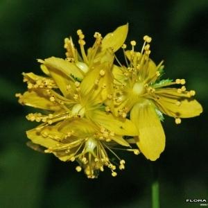Hypericum montanum L. (Millepertuis des montagnes)