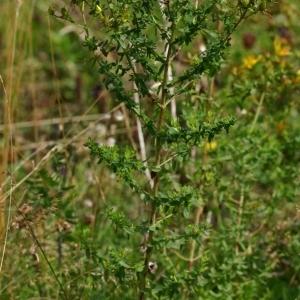 Photographie n°172264 du taxon Hypericum perforatum L.