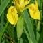 Thierry Pernot - Iris pseudacorus L.
