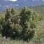 Thierry Pernot - Juniperus oxycedrus L.