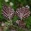 Thierry Pernot - Lamium maculatum (L.) L.