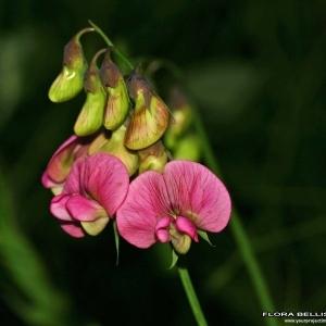 Lathyrus heterophyllus L. (Gesse à feuilles de deux formes)