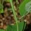 Thierry Pernot - Lathyrus linifolius (Reichard) Bässler