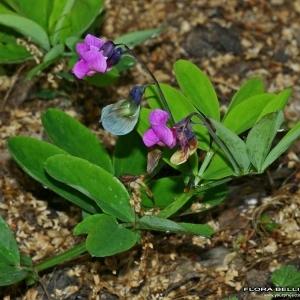 - Lathyrus linifolius (Reichard) Bässler