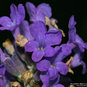 Lavandula angustifolia Mill. (Lavande à feuilles étroites)