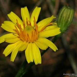 Leontodon autumnalis L. (Liondent d'automne)
