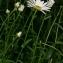 Thierry Pernot - Leucanthemum vulgare Lam.