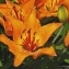 Thierry Pernot - Lilium bulbiferum L. [1753]