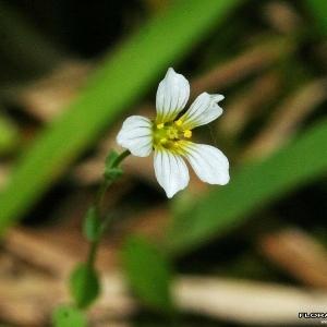 Photographie n°172722 du taxon Linum catharticum L.