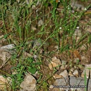 Photographie n°172723 du taxon Linum catharticum L.