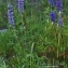 Thierry Pernot - Lupinus polyphyllus Lindl.