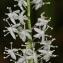 Thierry Pernot - Maianthemum bifolium (L.) F.W.Schmidt [1794]