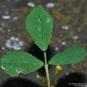 Medicago orbicularis (L.) Bartal. (Luzerne orbiculaire)