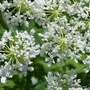 Myrrhis odorata (L.) Scop. (Cerfeuil anisé)