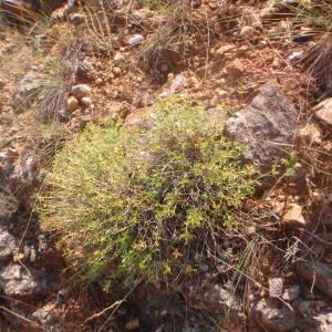 - Euphorbia spinosa L. [1753]