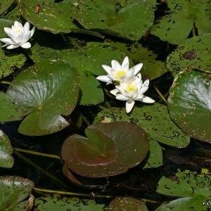 Photographie n°173343 du taxon Nymphaea alba L.