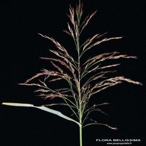 Photographie n°173375 du taxon Phragmites australis (Cav.) Steud.
