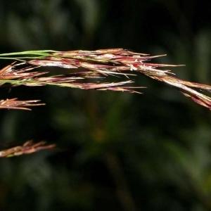 Photographie n°173378 du taxon Phragmites australis (Cav.) Steud.