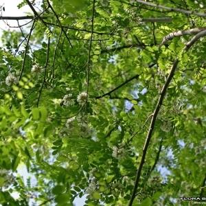 Photographie n°173437 du taxon Robinia pseudoacacia L.