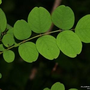 Photographie n°173439 du taxon Robinia pseudoacacia L.