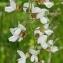 Thierry Pernot - Robinia pseudoacacia L.