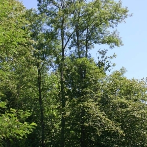 Photographie n°173442 du taxon Robinia pseudoacacia L.