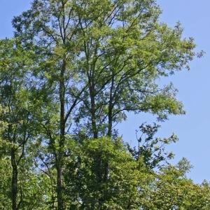Photographie n°173443 du taxon Robinia pseudoacacia L.