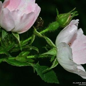 Rosa abietina Gren. ex H.Christ (Églantier des sapins)